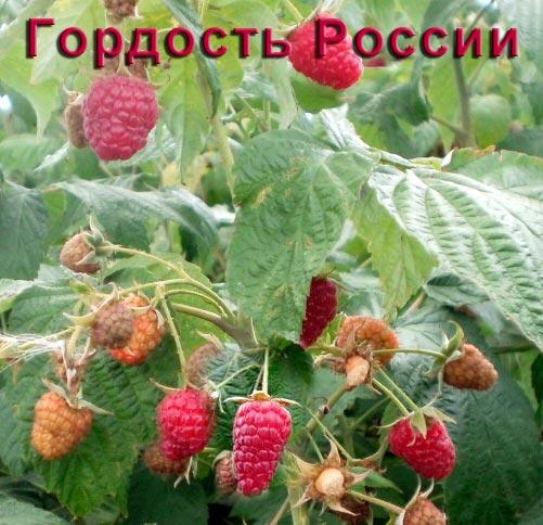 Малина Гордость России