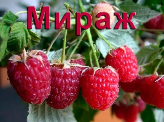 Малина Мираж