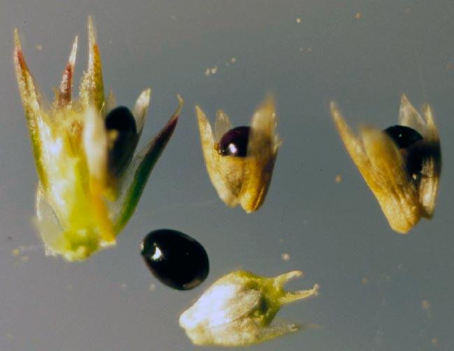 Семена щирицы запрокинутой  — Amaranthus retroflexus