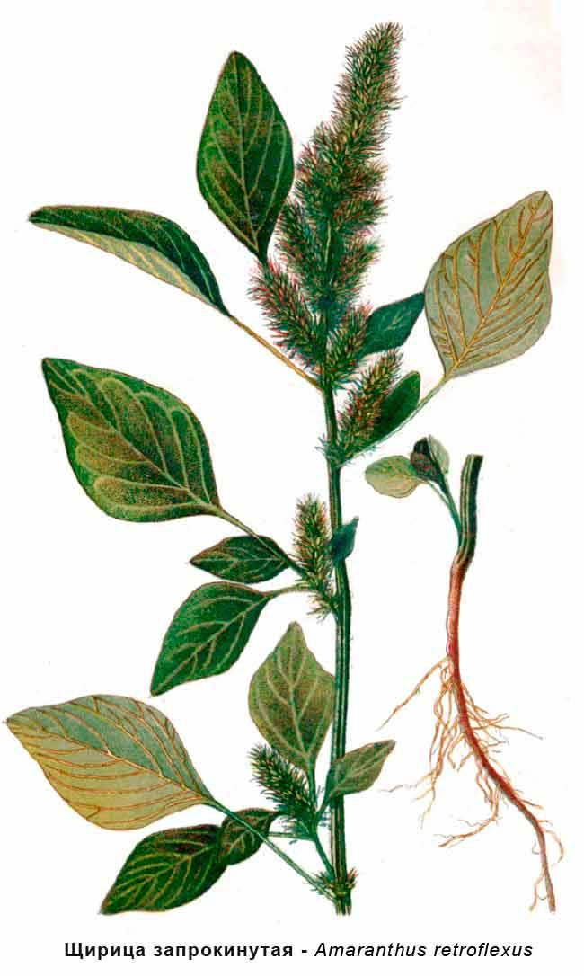 Щирица запрокинутая  — Amaranthus retroflexus