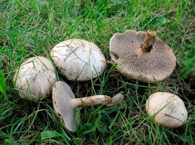Масленок лиственничный – Suillus aeruginascens