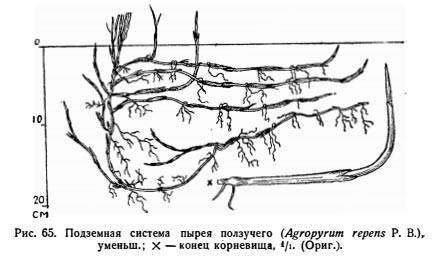 Корневая система пырея ползучего - Elytrigia repens
