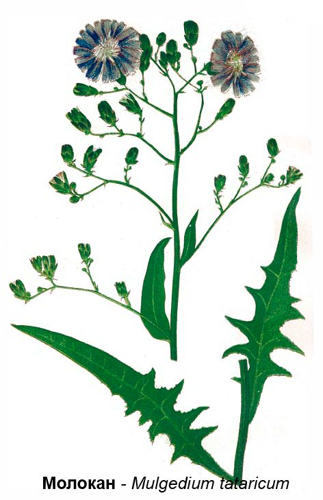 Латук татарский (Lactuca tatarica), или осот голубой (Agathyrsus tataricus)