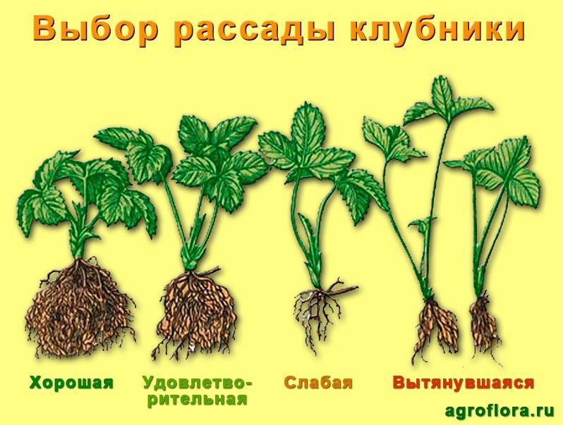 Изображение - Выращивание клубники Vybor-rassady-klubniki