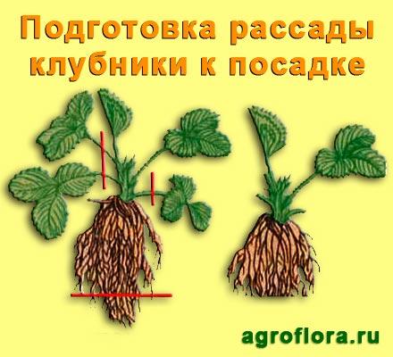 Изображение - Выращивание клубники podgotovka-rassady-klubniki-k-posadke